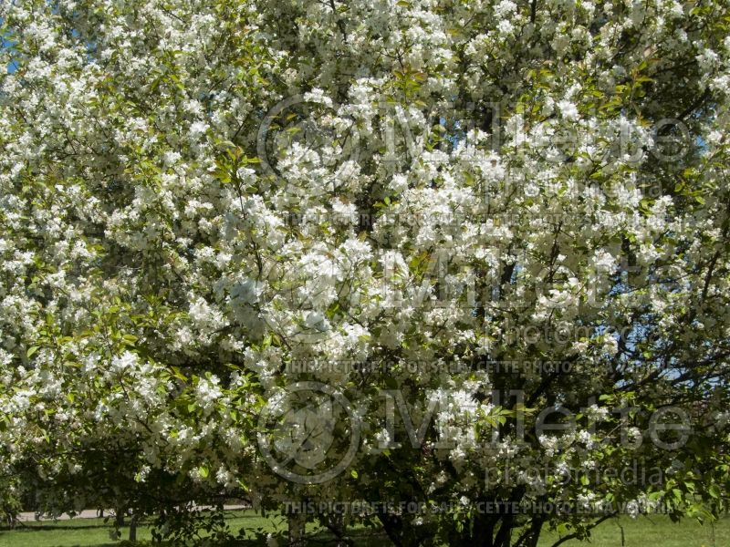 Malus Madonna or Mazam(Crabapple tree) 5