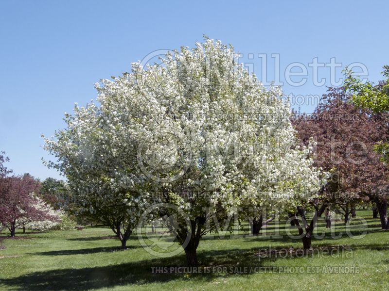 Malus Madonna or Mazam(Crabapple tree) 3