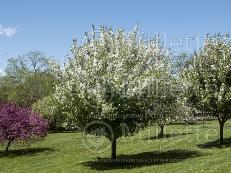 Malus Madonna or Mazam(Crabapple tree) 2
