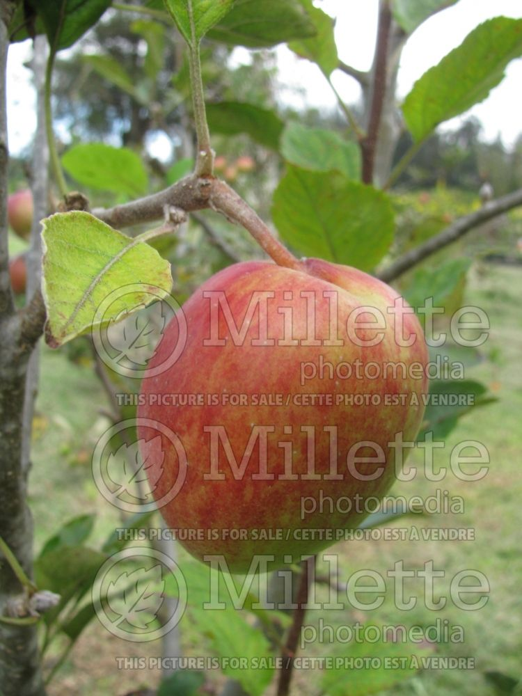 Malus Anna (Apple tree) 2