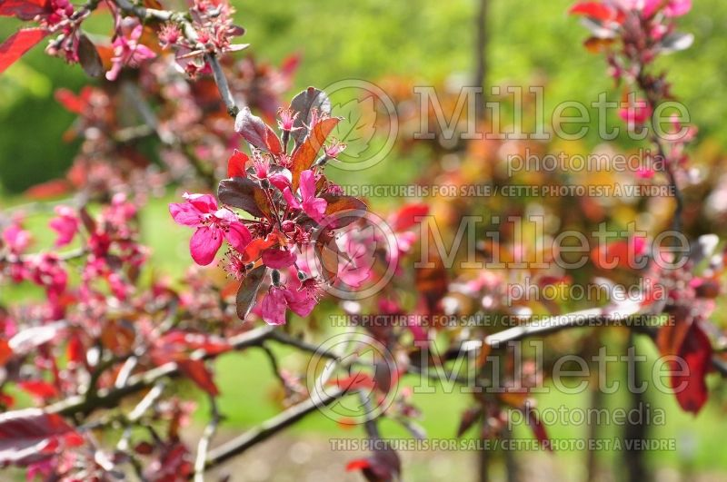 Malus Purple Wave (Crabapple) 2
