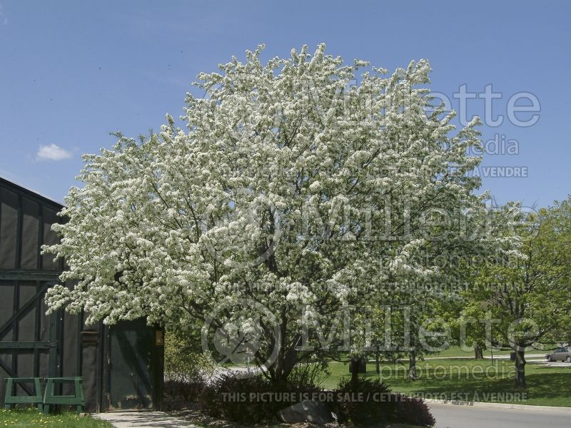 Malus Spring Snow (Pommetier) 1