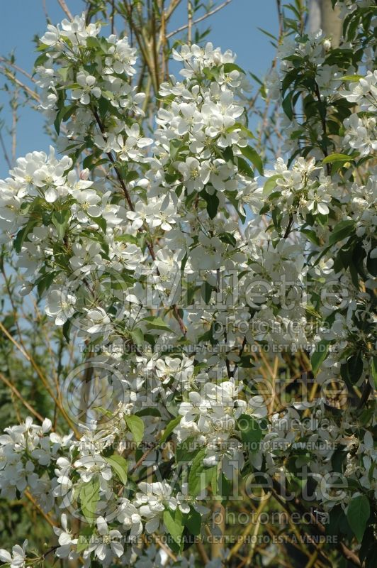 Malus Spring Snow (Pommetier) 3