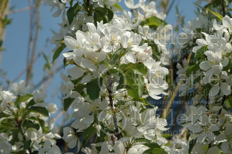 Malus Spring Snow (Pommetier) 4