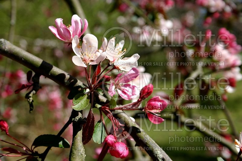 Malus Weeping Candied Apple (Crabapple) 2
