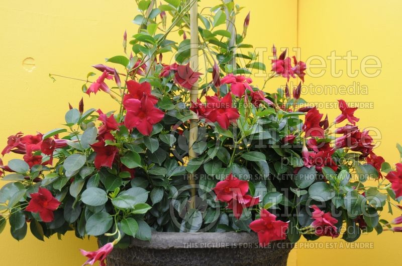 Mandevilla Vogue Ruby (Brazilian Jasmine - Scarlet Pimpernel, Red Riding Hood) 1