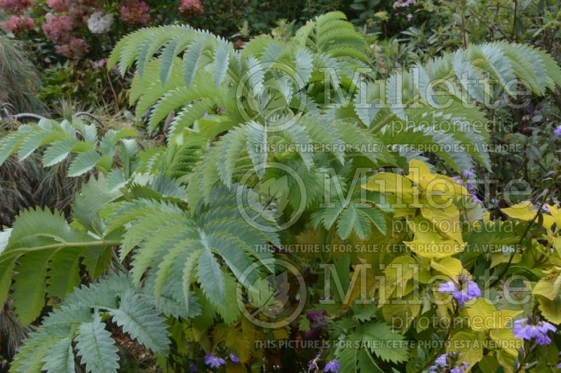 Melianthus major (Honeybush) 1