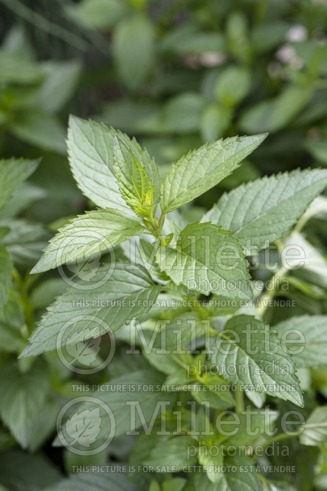 Mentha piperita (Peppermint - herb) 8