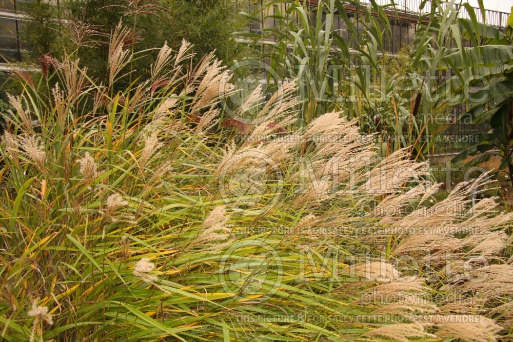 Miscanthus oligostachyus (small Japanese silver grass Ornamental Grass) 2