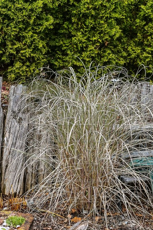 Miscanthus Arabesque (Maiden Grasses Ornamental Grass) 2