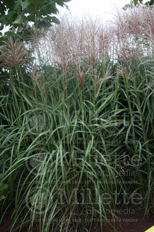 Miscanthus Arabesque (Maiden Grasses Ornamental Grass) 1