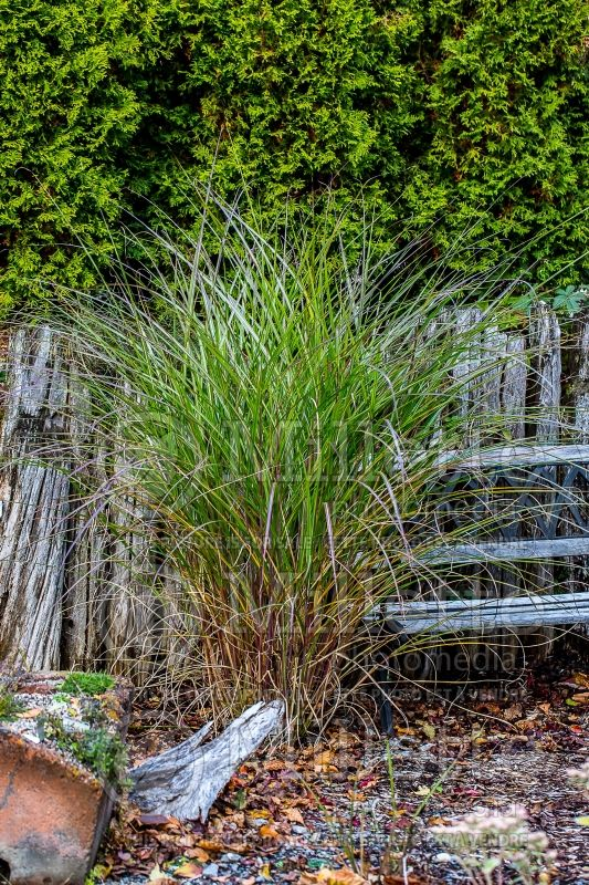 Miscanthus Arabesque (Maiden Grasses Ornamental Grass) 3
