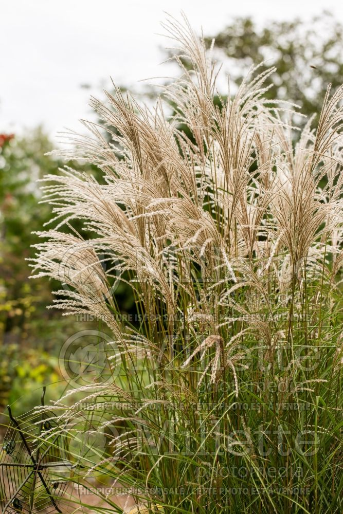 Miscanthus Kleine Fontaine aka Little Fountain (Chinese silver grass Ornamental Grass) 5