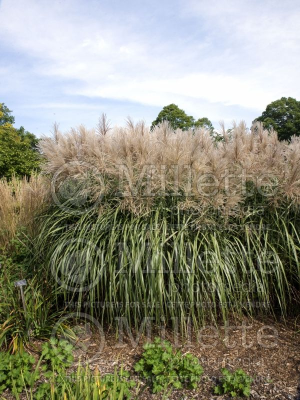 Miscanthus Malepartus (Maiden Grasses Ornamental Grass) 11