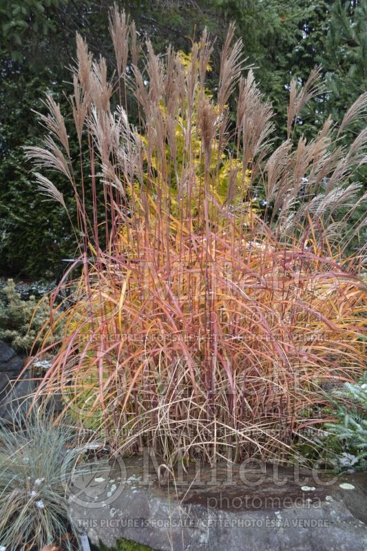 Miscanthus Malepartus (Maiden Grasses Ornamental Grass) 10
