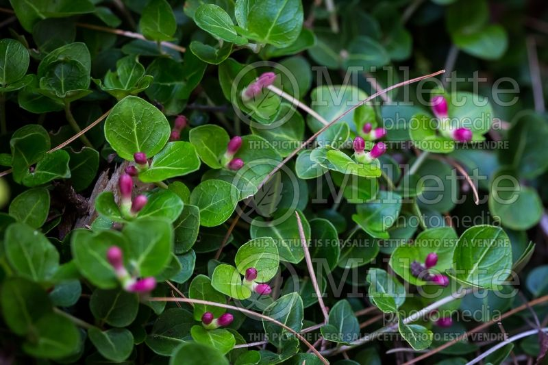 Mitchella repens (partridge berry) 1