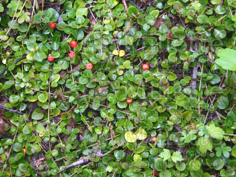 Mitchella repens (partridge berry) 5