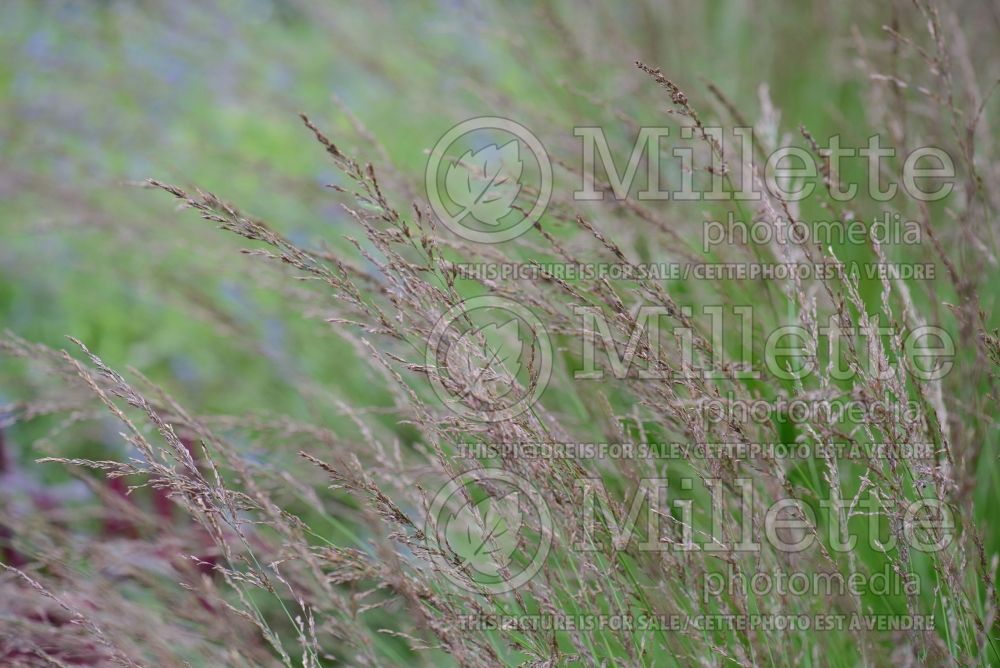 Molinia Edith Dudszus (Purple moor grass Ornamental Grass) 3
