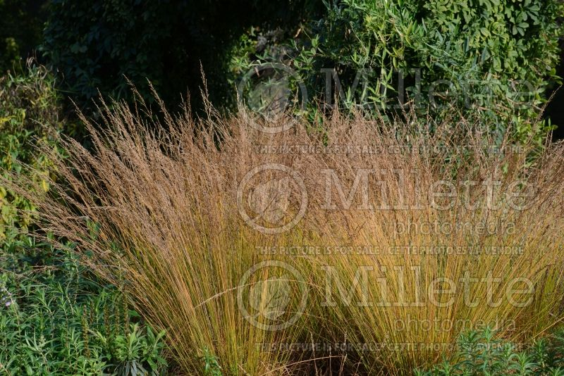 Molinia Edith Dudszus (Purple moor grass Ornamental Grass) 1