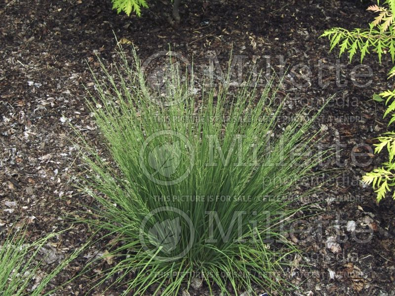 Molinia Moorflamme (Purple moor grass Ornamental Grass) 2