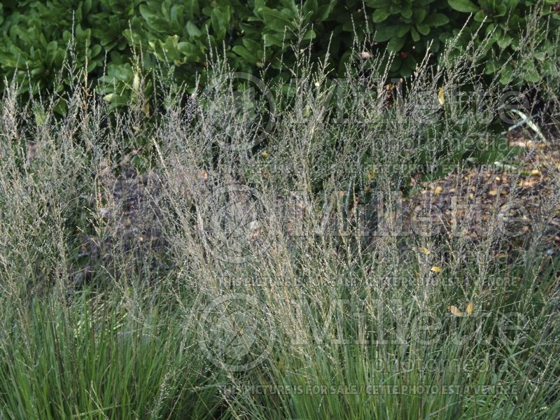 Molinia Moorflamme (Purple moor grass Ornamental Grass) 3