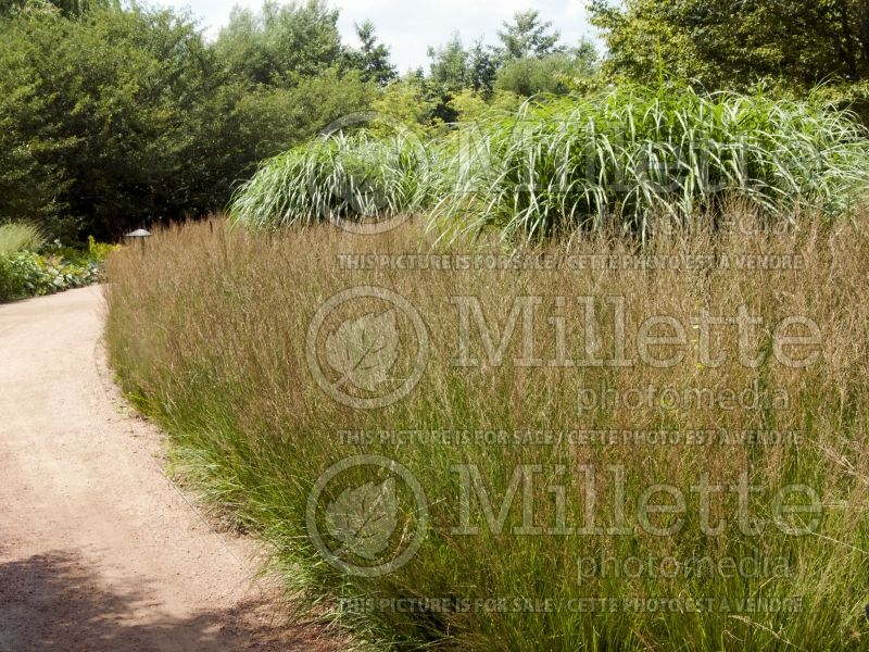 Molinia Moorflamme (Purple moor grass Ornamental Grass) 4