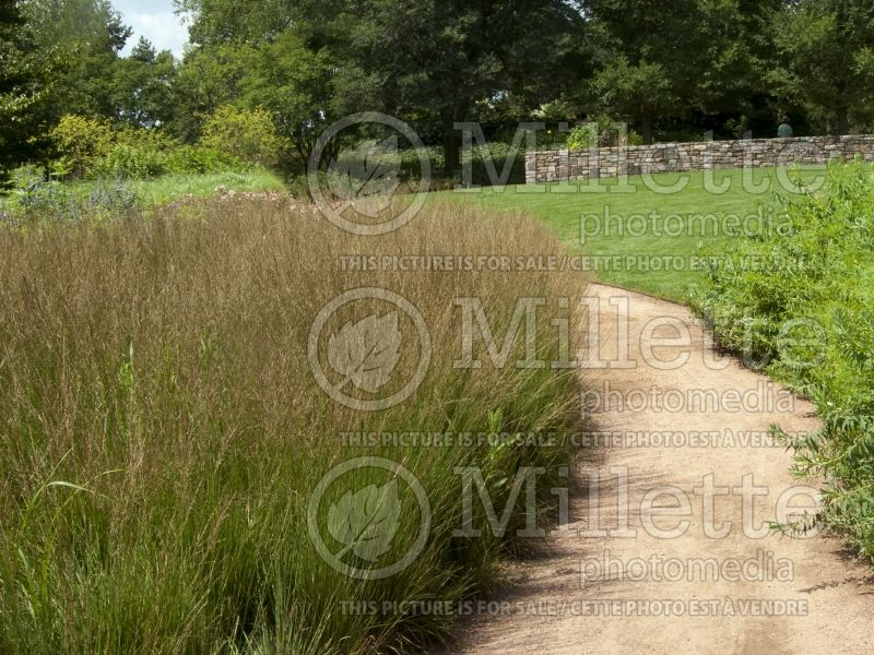 Molinia Moorflamme (Purple moor grass Ornamental Grass) 5