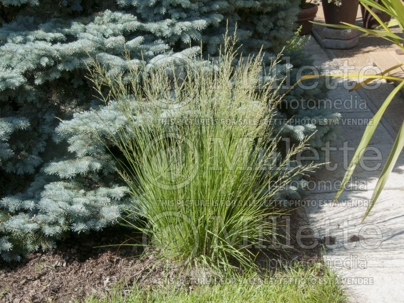 Molinia Moorflamme (Purple moor grass Ornamental Grass) 7