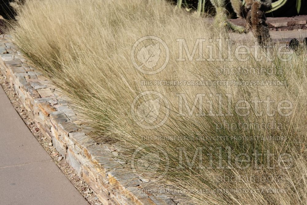 Muhlenbergia Regal Mist (Muhly grass) 1