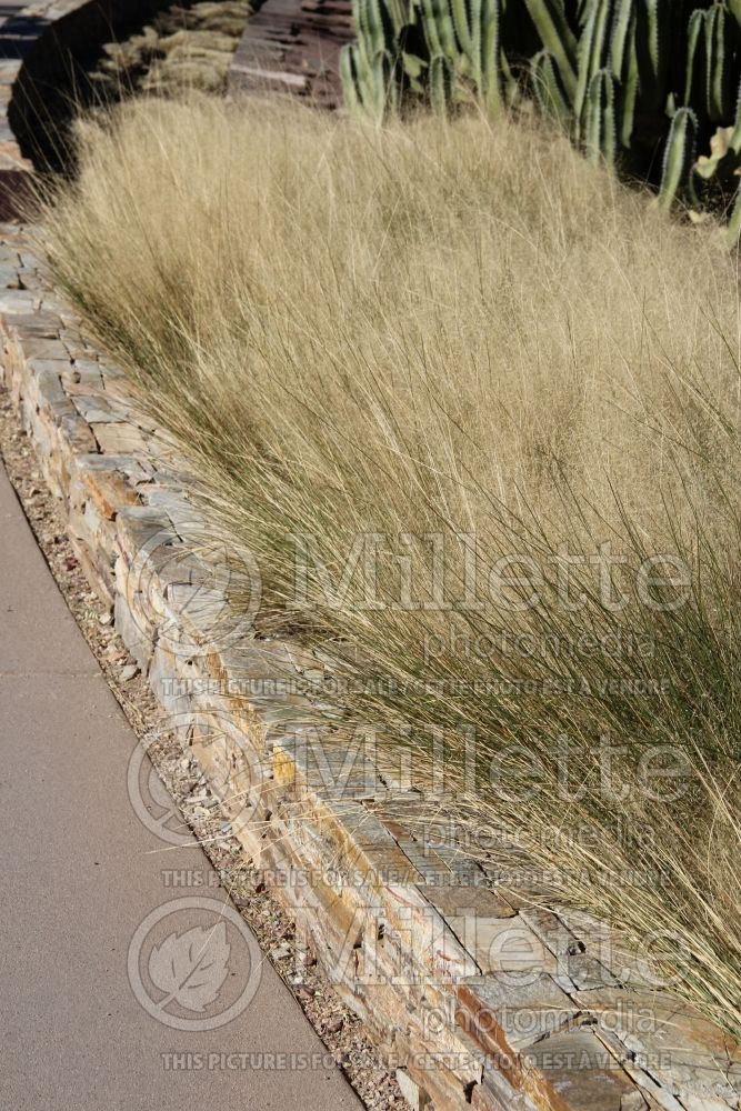 Muhlenbergia Regal Mist (Muhly grass) 2