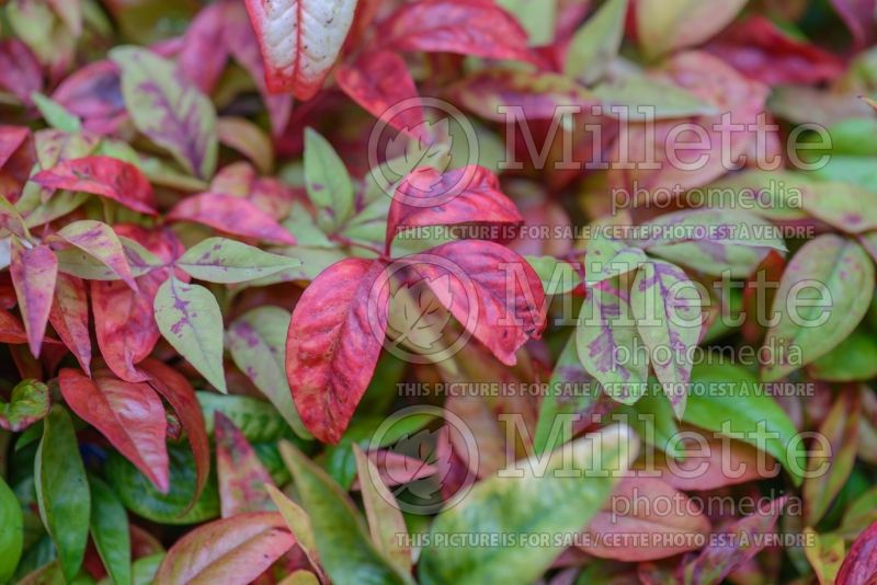 Nandina Fire Power aka Firepower (Heavenly bamboo) 1