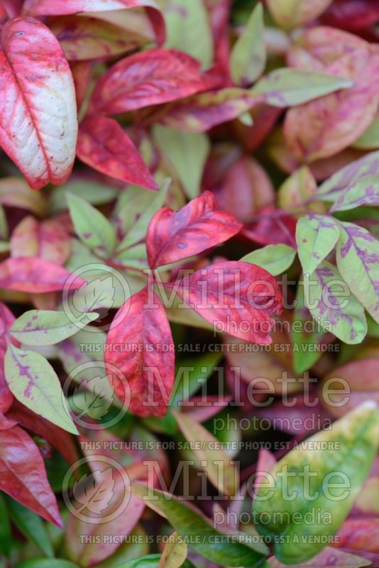 Nandina Fire Power aka Firepower (Heavenly bamboo) 2