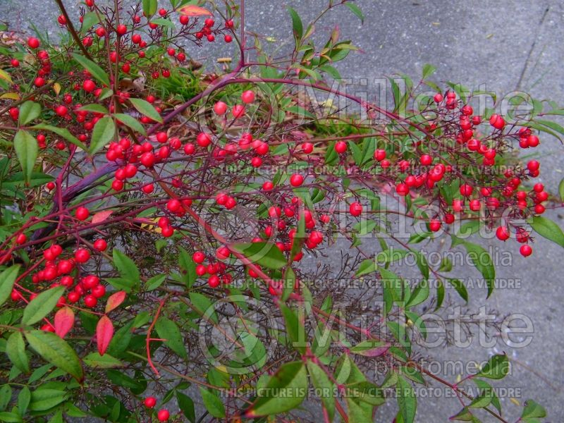 Nandina Gulf Stream (Heavenly bamboo) 3