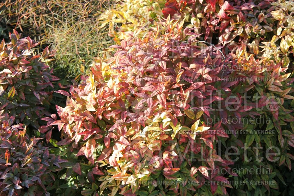 Nandina Wood's Dwarf (Heavenly bamboo) 2