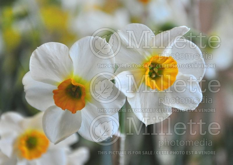 Narcissus Beautiful Eyes (Narcisses jonquille)  3