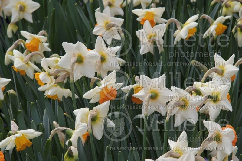 Narcissus Chromacolor (Narcisses jonquille)  2