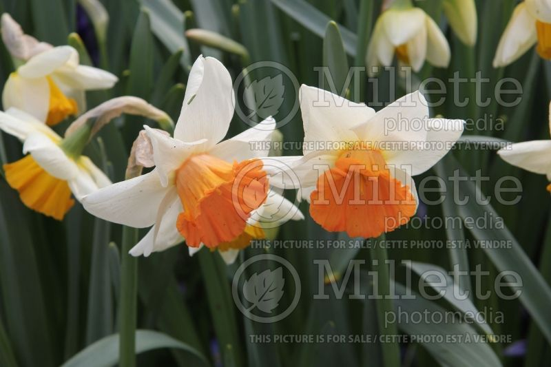 Narcissus Chromacolor (Narcisses jonquille)  1