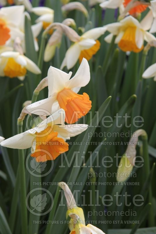 Narcissus Chromacolor (Narcisses jonquille)  3