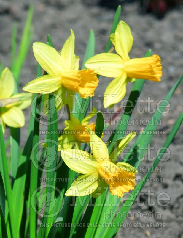 Narcissus February Gold (Narcisses jonquille) 6