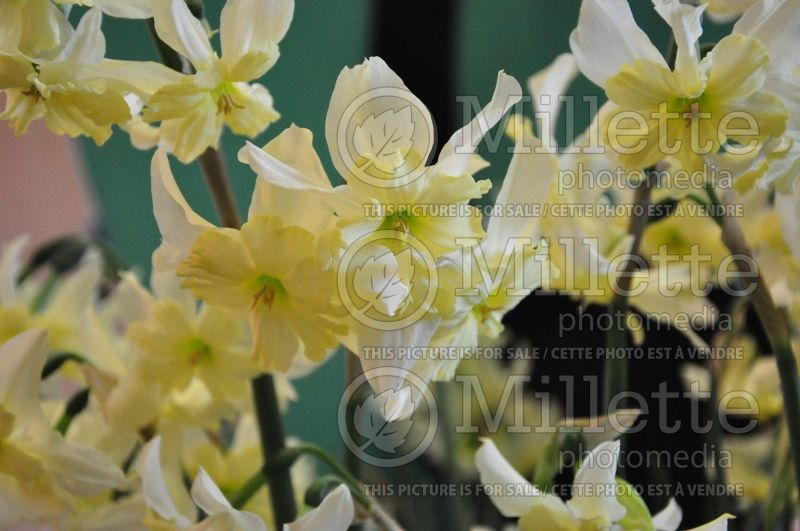 Narcissus Exotic Mystery (Narcisses jonquille)  1