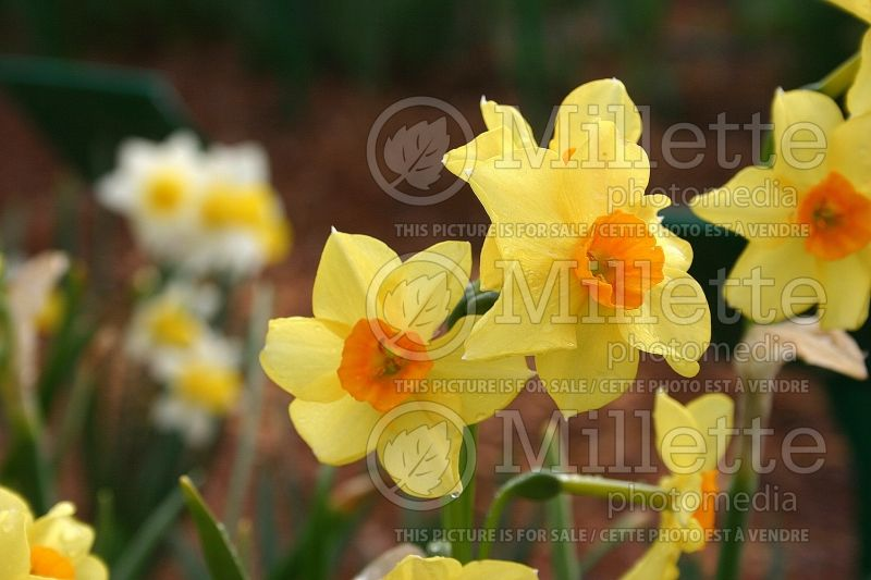 Narcissus Falconet (Narcisses jonquille)  1