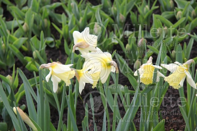 Narcissus Mount Hood (Narcisses jonquille)  2