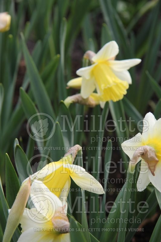 Narcissus Mount Hood (Narcisses jonquille)  6