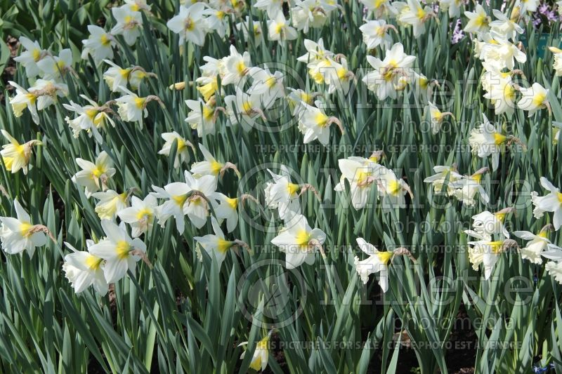 Narcissus Mount Hood (Narcisses jonquille)  7