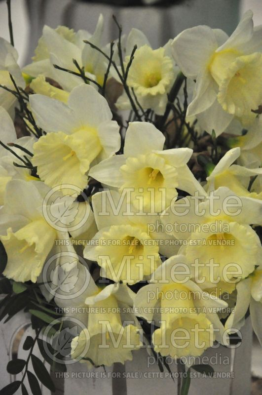 Narcissus Mount Hood (Narcisses jonquille)  8