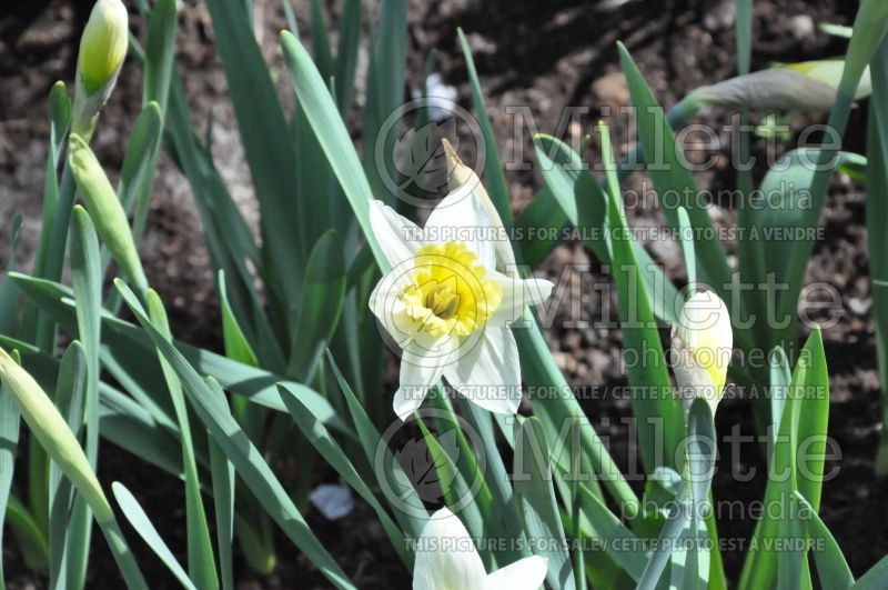 Narcissus Mount Hood (Narcisses jonquille)  4