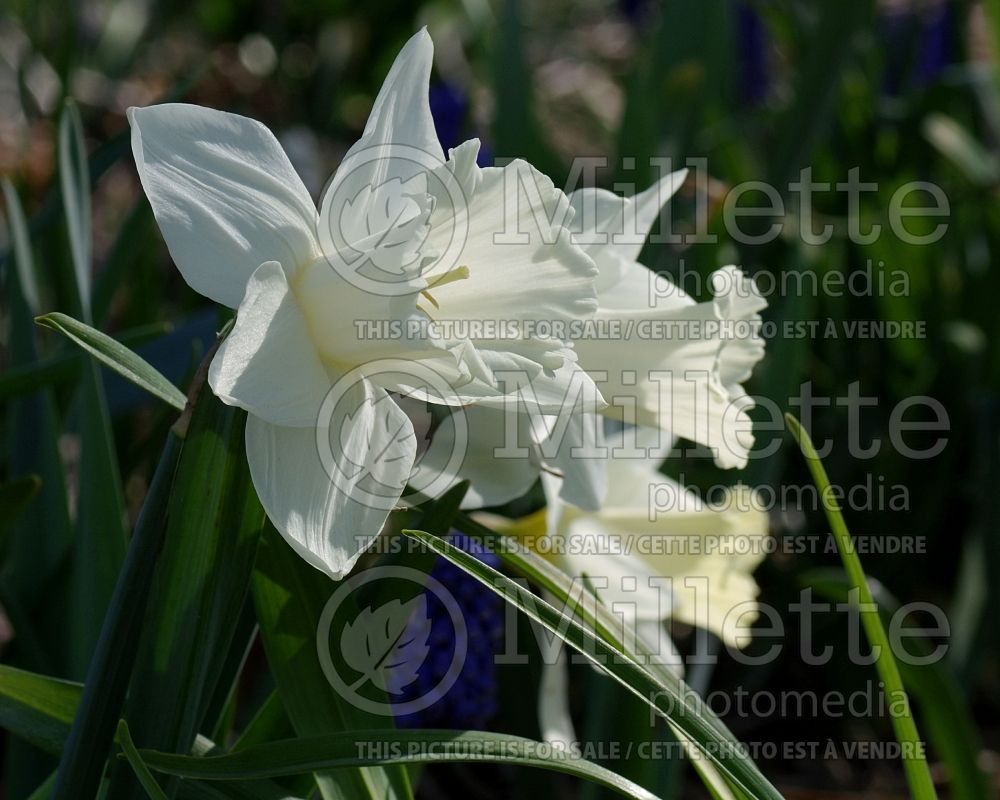 Narcissus Mount Hood (Narcisses jonquille)  1