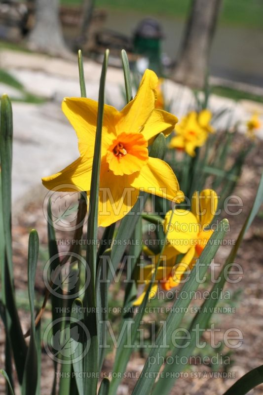 Narcissus Pappy George (Narcisses jonquille)  1