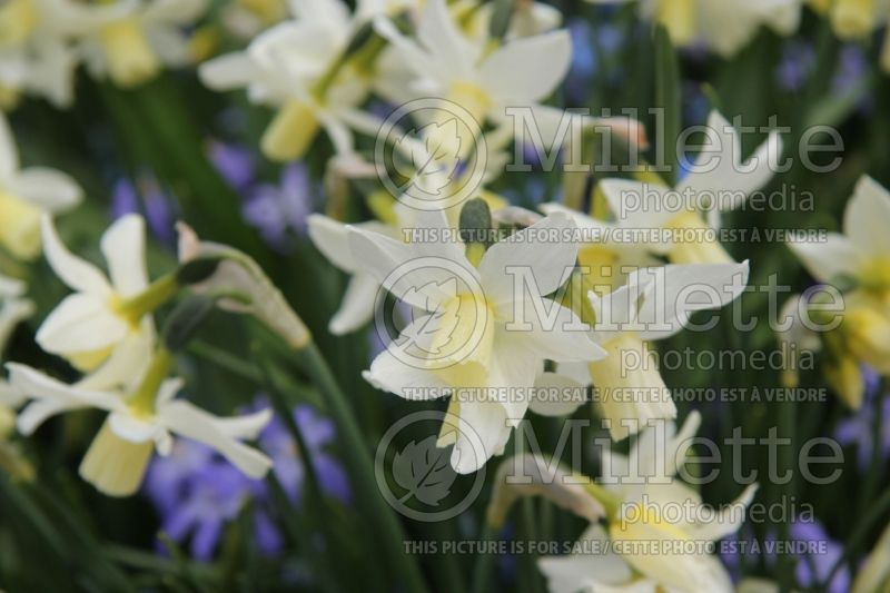 Narcissus Toto (Narcisses jonquille)  2