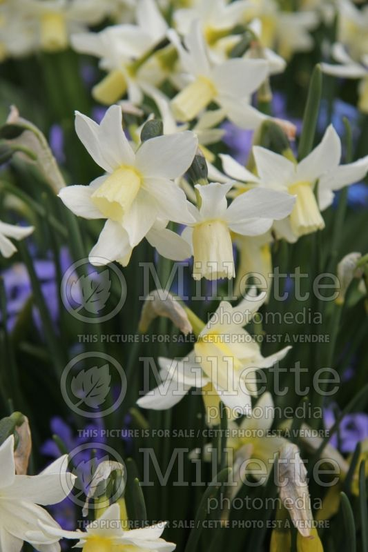 Narcissus Toto (Narcisses jonquille)  3